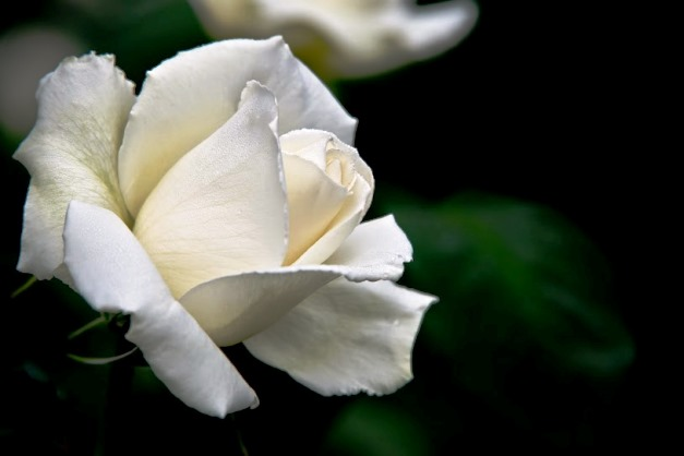 flor-blanca